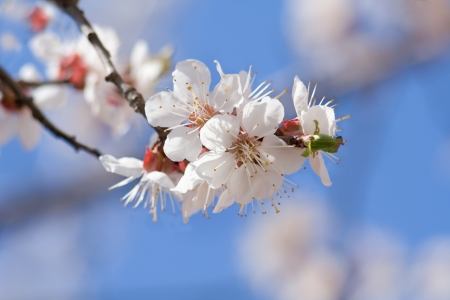 Flowering apricot on background of blue sky photo