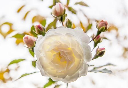 White  rose, backlit.  Reklamní fotografie