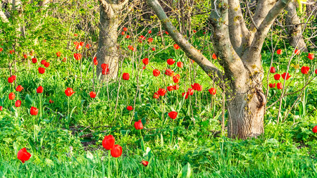 Flowering red tulips in an abandoned walnut garden photo