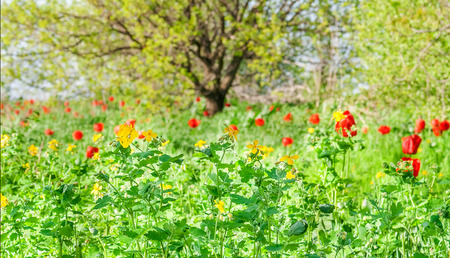 Sunny spring meadow with red tulips and yellow wildflowers photo