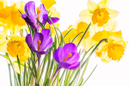 lose up: Purple crocuses and yellow daffodils backlit. Сlose up