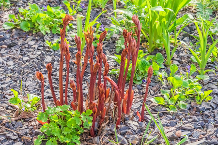 massif de fleurs: pousses de printemps de pivoines et iriseson le parterre de fleurs