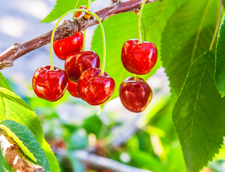 Bunch of ripe, red fruit cherries on a branch in a sunny day closeup Reklamní fotografie