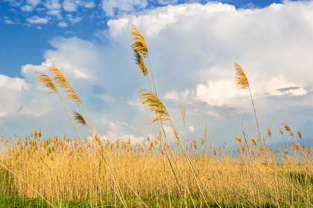 Reeds in a field on the background of blue sky with clouds photo