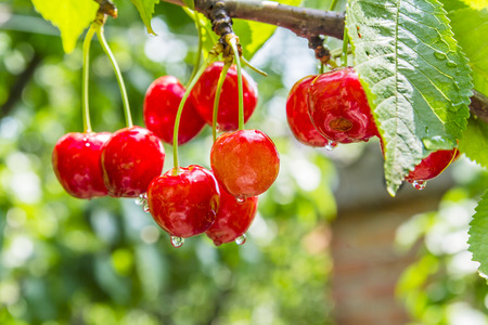 Cherry red berries on a tree branch with water drops after summer rain closeup