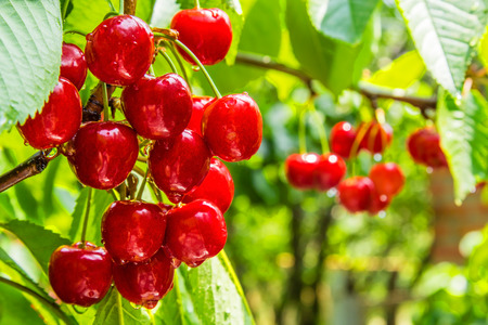 Cherry red berries on a tree branch with water drops after summer rain closeup. The background is blurred