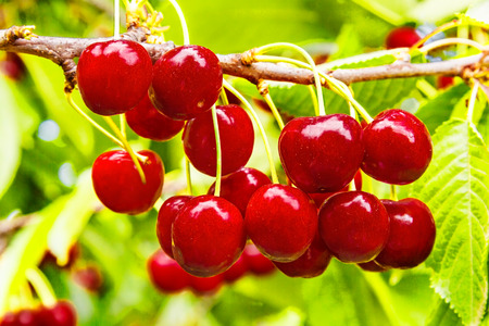 Ripe fruit cherries on a branch in a sunny summer day close up Reklamní fotografie