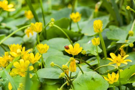 cowslip: Red ladybug on yellow flower marsh marigold