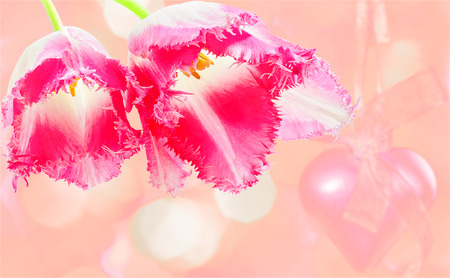Two flowers of tulips on holiday pink background close-up photo