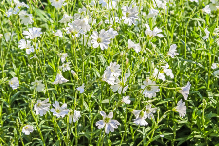chickweed: White flowers chickweed close up on a sunny spring day Stock Photo