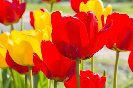 floriculture: Spring red and yellow tulips backlit, close-up. Selective focus