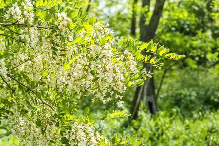langosta: Floraci�n rama de la langosta de cerca en la arboleda verde en un d�a soleado de primavera Foto de archivo