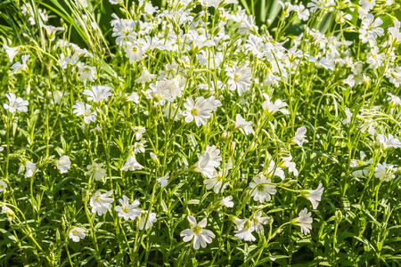 chickweed: White flowers chickweed on a sunny spring day, macro Stock Photo