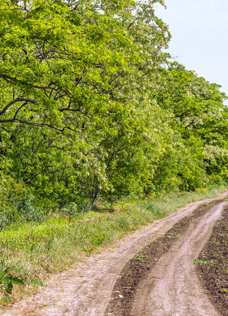 day flowering: Road to the field along the flowering acacias on a summer day Stock Photo