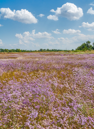 day flowering: Field with flowering lilac Gypsophila paniculata on a hot August day Stock Photo