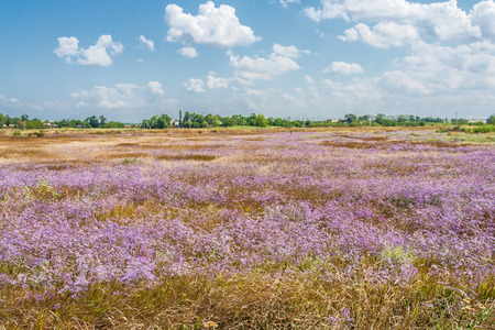 day flowering: Field with flowering lilac Gypsophila paniculata in a summer day