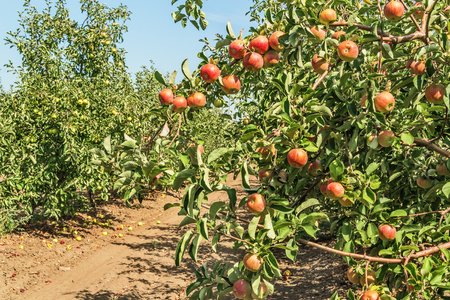 fruitage: Ripe fruitage on the branches of apple trees in the orchard background