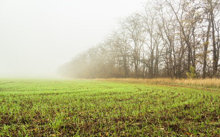winter wheat: Field with green sprouts of winter wheat on a autumn misty rainy day