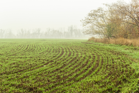 winter wheat: Field with green sprouts of winter wheat on a foggy autumn day Stock Photo