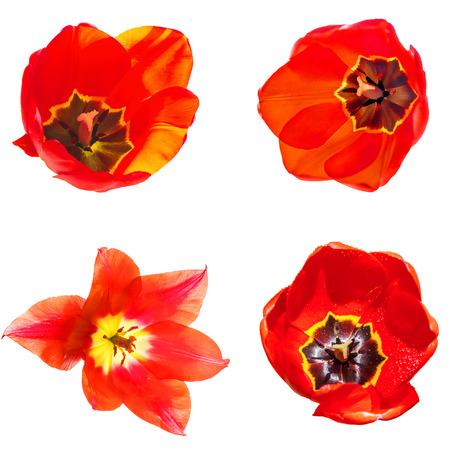 tulips isolated on white background: Set of four flowers red tulips isolated on white background