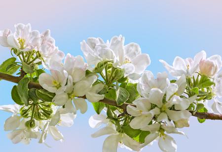 albero di mele: delicati fiori bianchi di melo su sfondo blu-rosa sfocata, macro. messa a fuoco selettiva