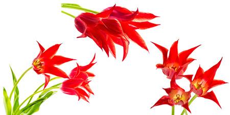 tulips isolated on white background: Set of three bouquets of red tulips isolated on white background