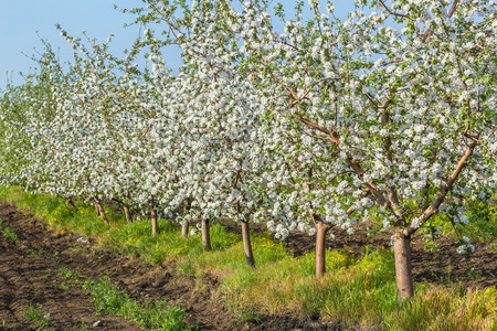 tree fruit: Blooming apple orchard at sunset in spring evening Stock Photo