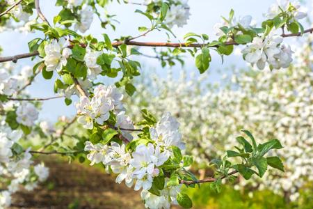 feuille arbre: Floraison branche de pommier, gros plan sur un fond d'un verger de printemps. mise au point s�lective
