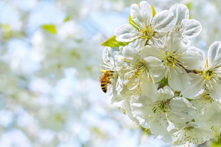 cherrytree: Bee on spring cherry-tree blossoms, macro. Selective focus Stock Photo