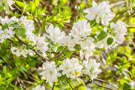 manzana verde: rama de la floraci�n del manzano de cerca en un huerto de primavera, a contraluz. enfoque selectivo