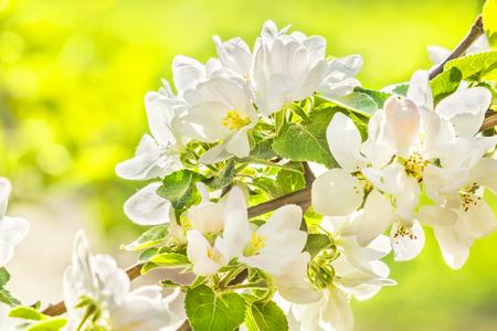 manzana verde: Rama con flores de manzana macro-�rbol en un huerto de primavera, a contraluz. enfoque selectivo