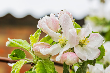 arbol de manzanas: Flowers of apple tree in the spring rain, macro. Selective focus