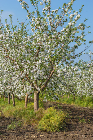 feuille arbre: Blooming apple orchard at sunset in spring day
