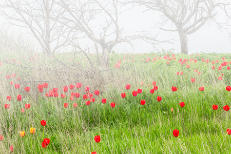 bud weed: Red tulips in a wild pitch on the sea shore on a foggy spring day Stock Photo