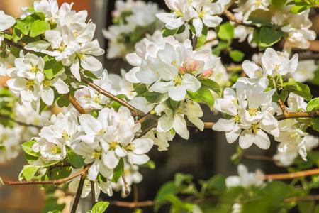 manzana verde: delicadas flores blancas de la manzana en primer plano en el fondo borroso. enfoque selectivo Foto de archivo