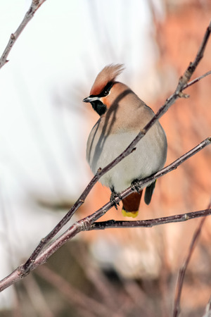 pappus: Crested waxwings sitting on a branch on a sunny spring day, close up