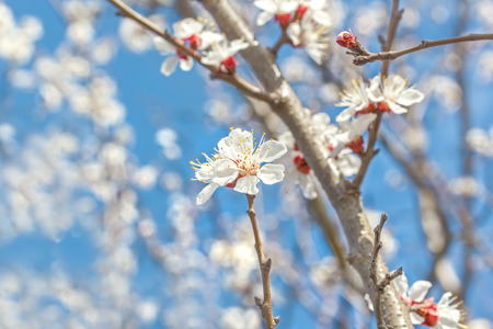 apricot tree: Spring flowers apricot tree close up on blurred background blossoming orchard and blue sky. Selective focus Stock Photo