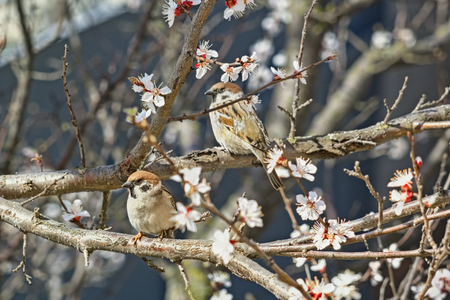 apricot tree: Two sparrows on blossoming branches of an apricot tree in spring garden