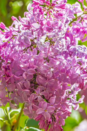 day flowering: Flowering branch of lilac in the spring garden on a sunny day, backlit, close up. Selective focus
