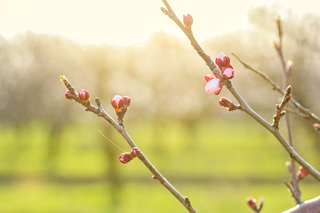 apricot tree: Apricot tree branches with flower buds at sunset on a blurred background orchard, backlit. Selective focus Stock Photo