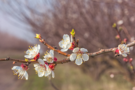 apricot tree: Flowering apricot tree branch closeup in evening sun on a blurred background of spring orchard. Photo toned Stock Photo