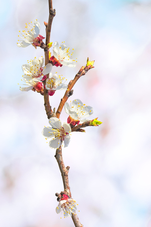 apricot tree: Flowering apricot tree branch close up on a blurred background of spring orchard