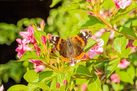 pokrzywka: Motyl pokrzywka (Aglais urticae) na kwitnących gałęzi Weigel w ogrodzie wiosną w wieczornego słońca, zbliżenie. selektywne fokus Zdjęcie Seryjne