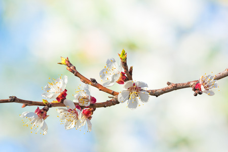 apricot tree: Flowering apricot tree branch close up on a blurred background of spring garden