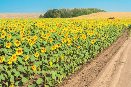 day flowering: Field road through flowering sunflowers on a sunny summer day. Harvested fields and a forest belt in the background against a blue cloudless sky