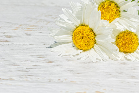 Three white daisies on a white wooden background in the garden on a sunny summer day. Selective focus