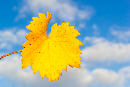 Yellow autumn grape leaf on a background of blue sky with white clouds, close-up