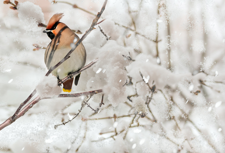 Crested waxwing sitting on a branch in the snowfall  in the snow-covered winter garden, close-up