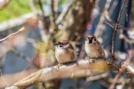 variegated: Two sparrows on blossoming branches of an apricot tree in spring garden on a windy day. Selective focus