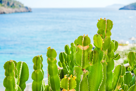 Green prickly pear (Opuntia) in the backlight against the blue sea, close-up. Back background blurred